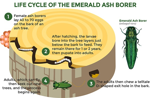 Life Cycle of the Emerald Ash Borer